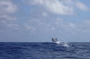 Dolphins flying in the Atlantic, delfini saltano in Atlantico